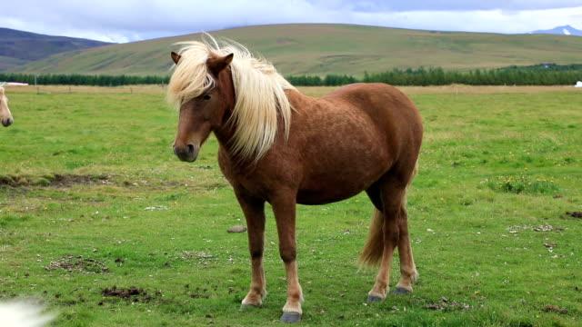 icelandic horse grazing in the field - grzywa filmów i materiałów b-roll