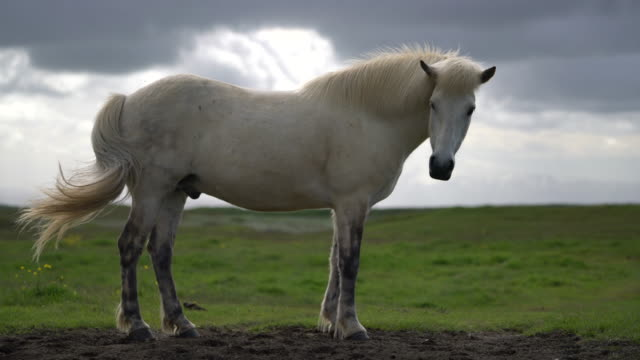icelandic horse in scenic nature of iceland. - stallone video stock e b–roll