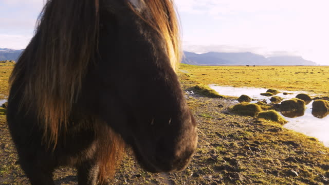Icelandic horse on the pasture video
