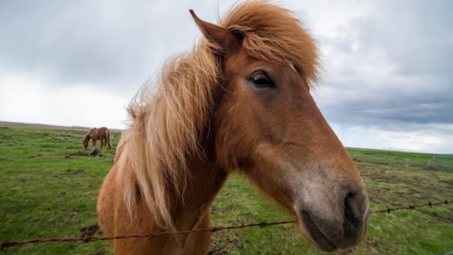islandshästar som betar på en betesmark - häst bildbanksvideor och videomaterial från bakom kulisserna
