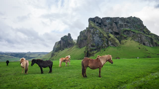 Icelandic horses grazing on a pasture video