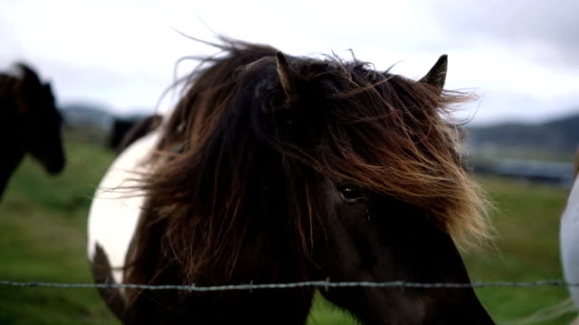 Icelandic horses in mountains in Iceland video