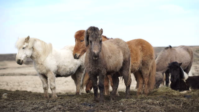 Icelandic horses in the open windy beautiful field during winter time. Double layer fur to prevent them from extreme weather 4K shot video