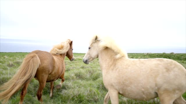 Icelandic horses running in meadow, Springtime SLOW MOTION