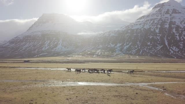stockvideo's en b-roll-footage met ijslandse paarden. het ijslandse paard is een paardenras ontwikkeld in ijsland. hoewel de paarden klein zijn, soms pony-sized, verwijzen de meeste registers voor het ijslands naar het als paard. - niet gecultiveerd