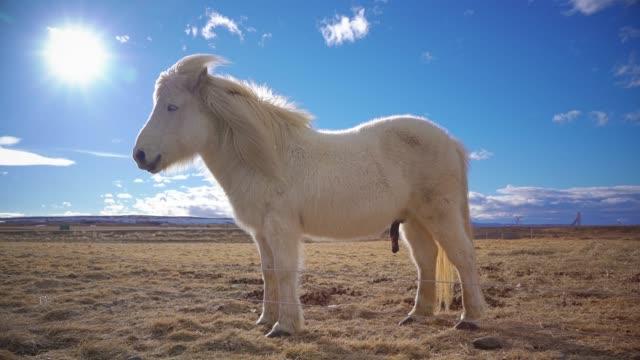 Icelandic horses video