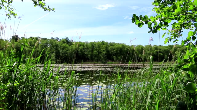 Idyll lake in summer with reed and green alder trees. Havelland in Germany.