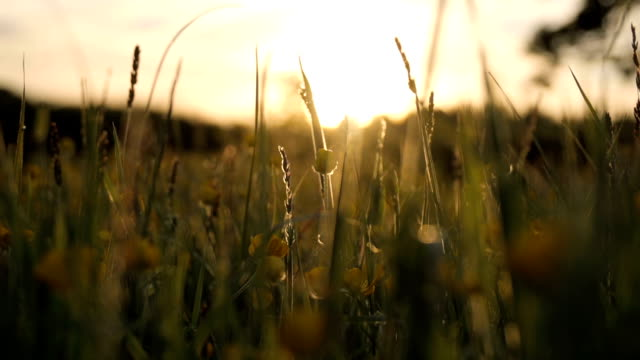 Idyllic Buttercup Meadow At Sunset video