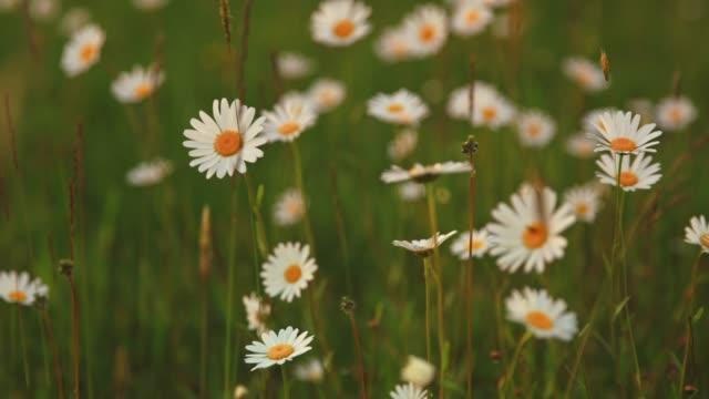 vídeos de stock e filmes b-roll de idyllic daisy wildflowers blowing in wind, real time - granadilha