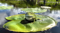istock idyllic frog on a lilly pad 1227366559