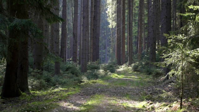 Idyllic road leading through forest. Spruce forest with sunny light video