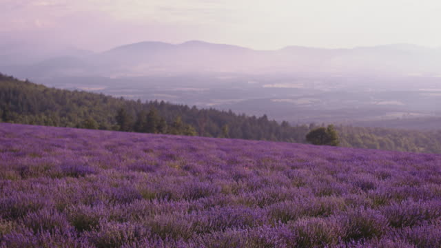 Idyllic view of lavender field against sky Drone view of beautiful lavender flowers on field during sunset. Idyllic view of rural landscape. Farm is against sky. lavender plant stock videos & royalty-free footage