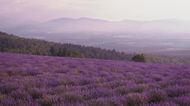 vídeos de stock e filmes b-roll de idyllic view of lavender field against sky - lavanda planta