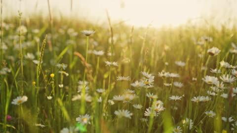 vídeos y material grabado en eventos de stock de ms idyllic, flores silvestres de daisy tranquilo en pradera soleada - verano