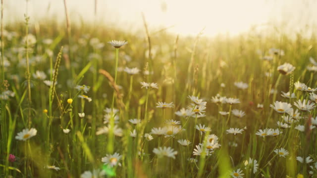 MS Idyllic,tranquil daisy wildflowers in sunny meadow video