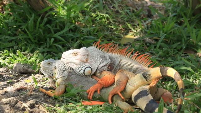 Iguane S'accoupler - Vidéo