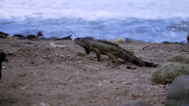 Iguana on the seashore, a huge iguana crawling on the ground in the sand, animal, reptile. Lizard by the sea. Exotic animal in the wild.