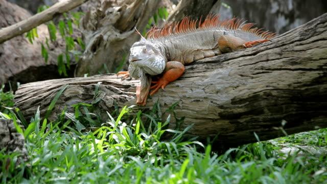 iguana reptile climb tree - utdöd bildbanksvideor och videomaterial från bakom kulisserna