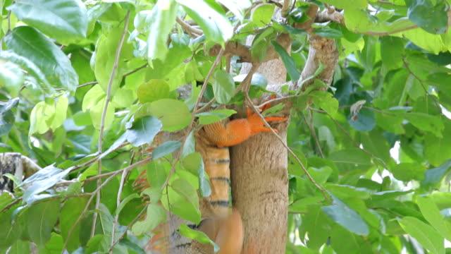 leguan kriechtier klettern tree - faul ast stock-videos und b-roll-filmmaterial