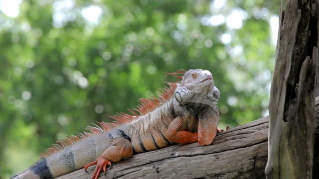 leguan reptilien sitzbereich - faul ast stock-videos und b-roll-filmmaterial