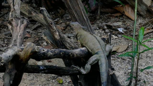 vídeos y material grabado en eventos de stock de iguana en parque - telencéfalo