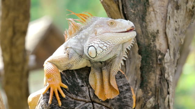 Iguana sitting on a tree branch,Close-up video