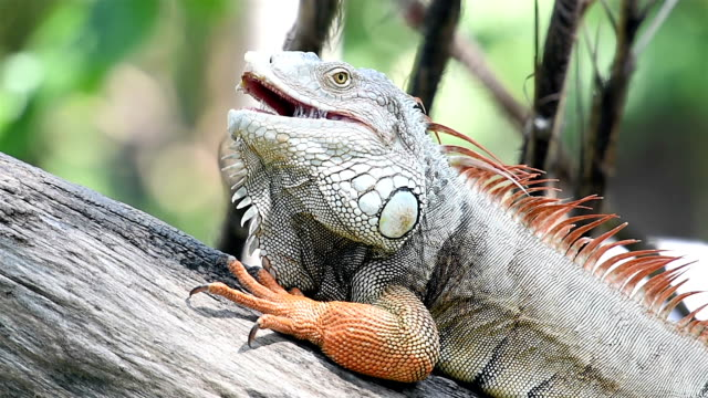 Iguana video