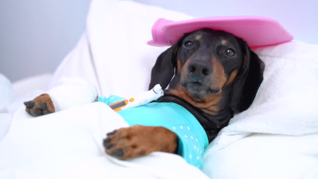 Illness dachshund lies on the bed in the hospital and measures
