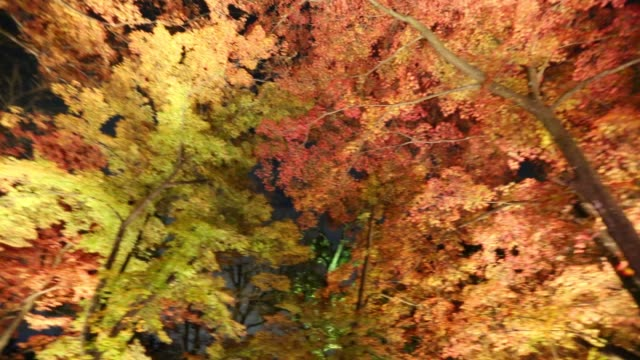 Illuminated Maple leaves Night illuminated Japanese garden in Kyoto. Showing Maple leaves, panning 360 deegree. maple leaf videos stock videos & royalty-free footage