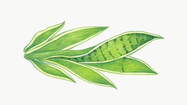 Illustration Footage of Dracaena Trifasciata Plant on White Background