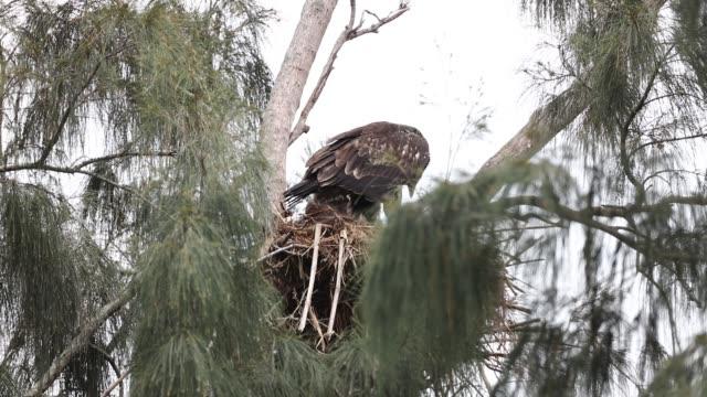 unreifen bald adler im nest - nest stock-videos und b-roll-filmmaterial