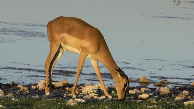 vidéos et rushes de antilope impala (aepyceros melampus) à un point d'eau, parc national d'etosha, namibie - plan d'eau