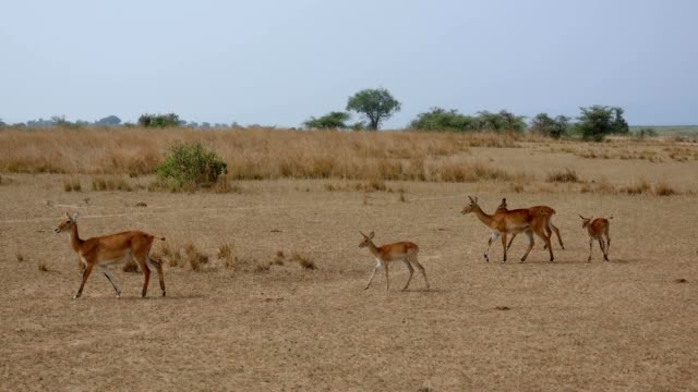 impala antelope group of females with toddlers calves in dry savannah of africa - засушливый климат стоковые видео и кадры b-roll