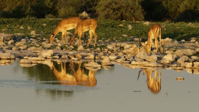 Impala antelopes at a waterhole video