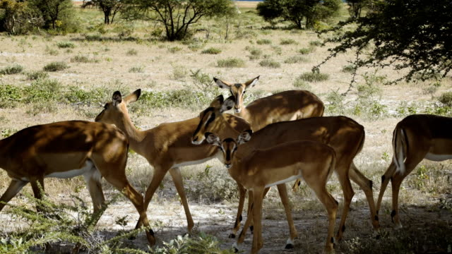 Impala Antelopes walking on savannah in Etosha National Park video