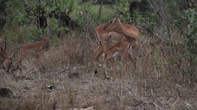 Impala family video