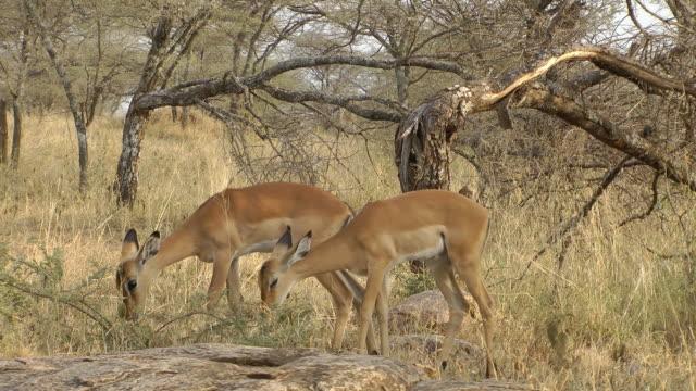 Impala grazing video