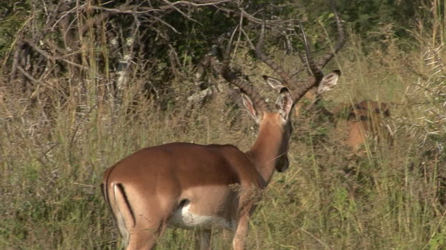 Impala video