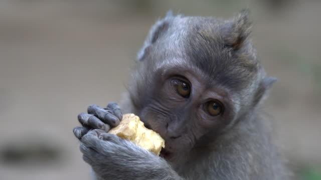 2 in 1 sessizce orman ubud içinde bali yeme bir maymunun kapatın. alan güzel bir sığ derinliği ile vurdu. - makak maymunu stok videoları ve detay görüntü çekimi