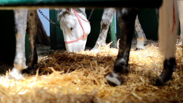 2 in 1 Tied gray horses in the stable 2 in 1 Tied gray horses in the stable mare stock videos & royalty-free footage