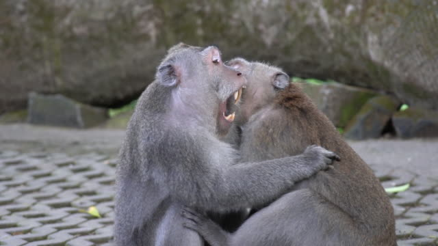 5 in 1 Two monkeys fighting and playing in the Monkey Forest of Ubud, Bali. Footage in normal speed and slow motion.