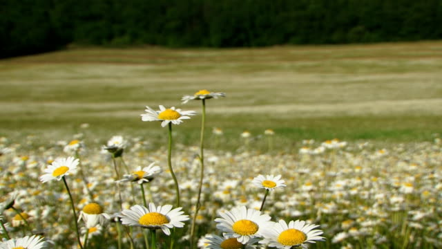In a chamomile field video