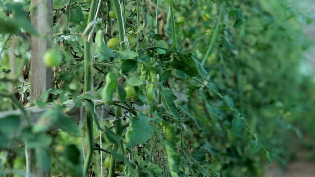 In a large greenhouse grow thickets of tomatoes video