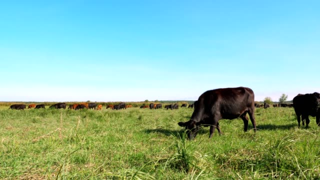 in meadow, on farm, big brown and black pedigree, breeding cows, bulls are grazing. Cattle for meat production in pasture. selection of cows, bulls. in sun rays, summer day