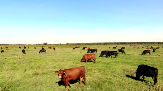 in meadow, on green grassy field, many brown and black pedigree, breeding cows, bulls are grazing. on farm. summer warm day. aero video. breeding, selection of cows, bulls - giovenca video stock e b–roll