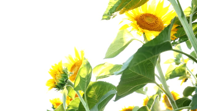In sunflower oasis A shot portraying sunflower plants from below (low angle perspective), enjoying a hot summer day under highly bright sky. monoculture stock videos & royalty-free footage