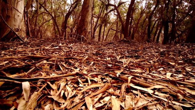 in the forest - eucalyptus leaves bildbanksvideor och videomaterial från bakom kulisserna