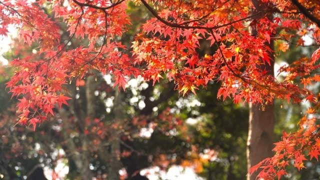 morgens mit roter ahorn pflanzen - ahorn stock-videos und b-roll-filmmaterial