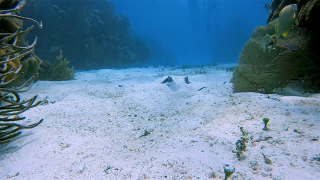 In the sand camouflaged Stingray in Caribbean Sea - Belize Barrier Reef / Ambergris Caye video