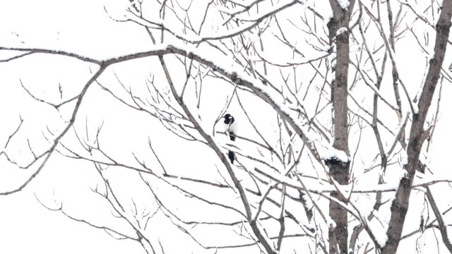 In the snowy woods, magpies are on the branches